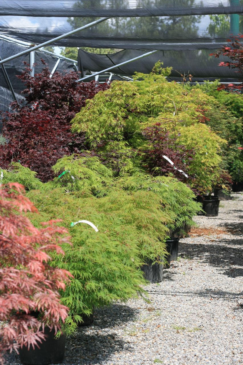 Many varieties, colors, and sizes of Japanese maples